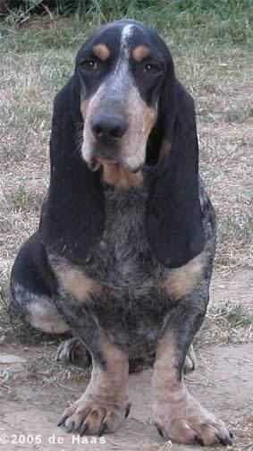 Basset Bleu de Gascogne Dogs Picture