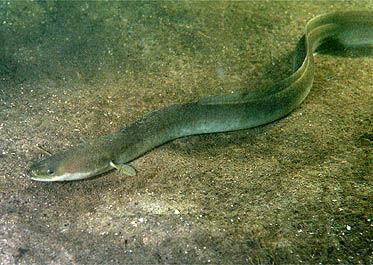 EU: minder paling vissen